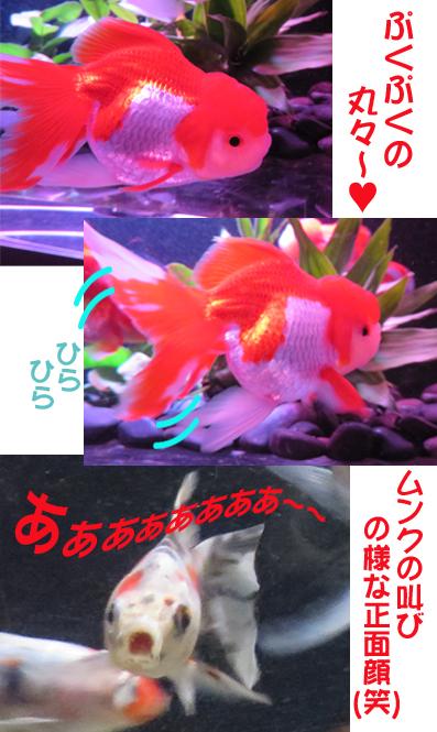 金魚ぷく.jpg