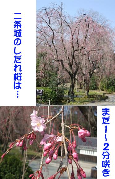 二条桜.jpg